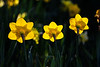 Three Daffodils<br /> Brewster, MA<br /> Image: 7827