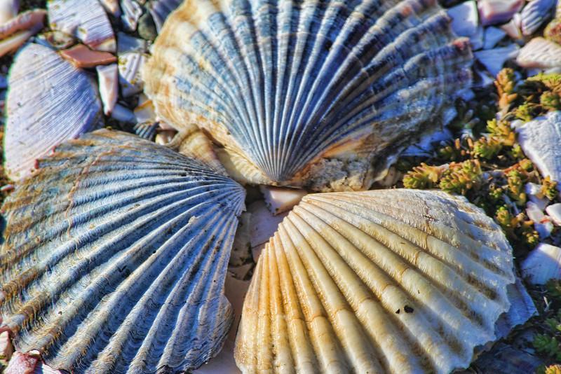 Scallop Shells<br /> Saints Landing Brewster, MA<br /> Image #:434
