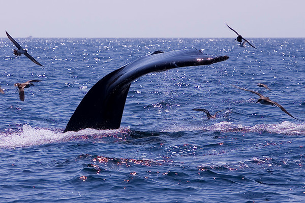 Humpback Whales in Cape Cod