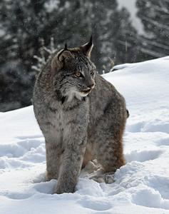 Canada Lynx 12, Bozeman, Montana