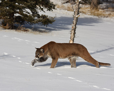 Cougar 23, Bozeman, Montana