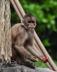 Capuchin Monkey, Quayaquil, Ecuador