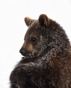 Brown Bear Cub 3, Bozeman, Montana