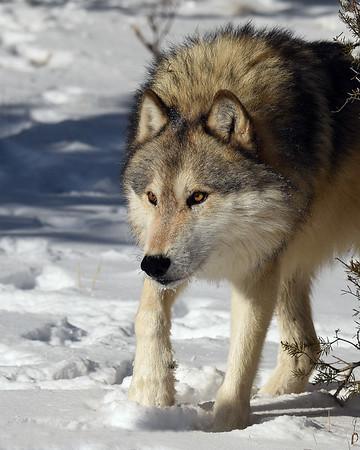 Gray Wolf 2, Bozeman, Montana