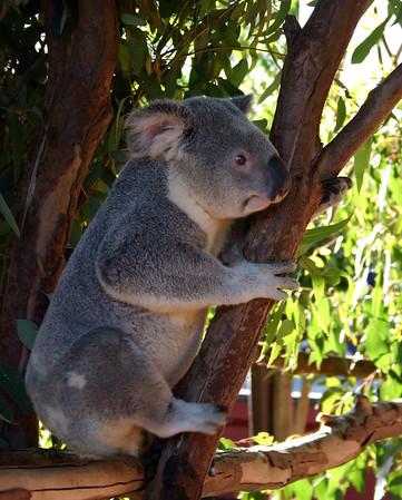 Koala, Australia Zoo, Queensland, Australia