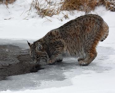 Bobcat 7, Bozeman, Montana