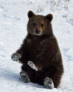 Brown Bear Cub 6, Bozeman, Montana