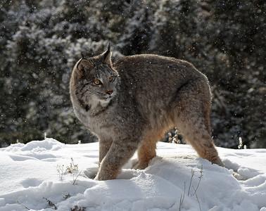 Canada Lynx 13, Bozeman, Montana