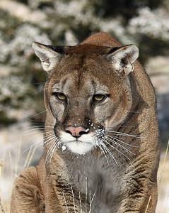 Cougar 4, Bozeman, Montana
