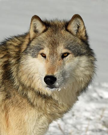 Gray Wolf 1, Bozeman, Montana