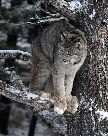 Canada Lynx 9, Bozeman, Montana