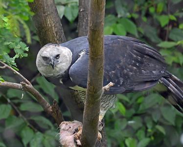 Harpy Eagle 2, Quayaquil, Ecuador