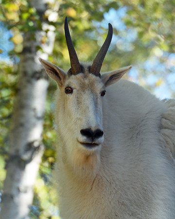 Mountain Goat, Anchorage Zoo, Ak