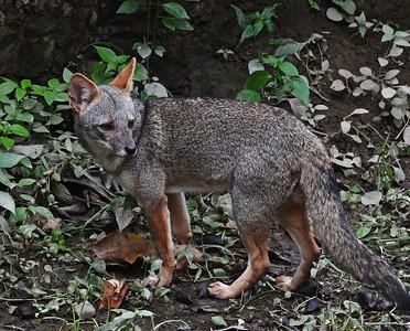 Sechura Fox, Quayaquil, Ecuador