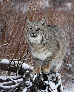 Bobcat 5, Bozeman, Montana