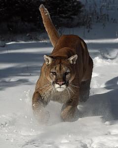 Cougar 2, Bozeman, Montana