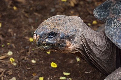 Giant Tortoise, Darwin Research Center, Santa Cruz, Galapagos, Ecuador