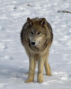 Gray Wolf 7, Bozeman, Montana
