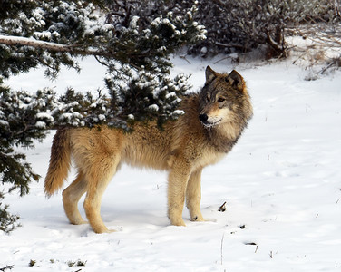Gray Wolf 6, Bozeman, Montana