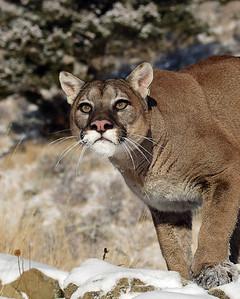 Cougar 11, Bozeman, Montana