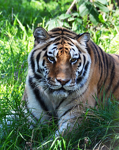 Amur Tiger 1, Anchorage Zoo, Ak