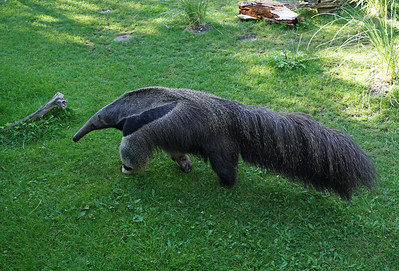 Giant Anteater, Zurich Zoo, Switzerland