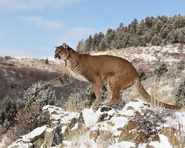 Cougar 6, Bozeman, Montana