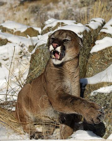 Cougar 19, Bozeman, Montana