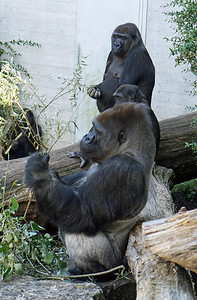 Gorilla's, Zurich Zoo, Switzerland