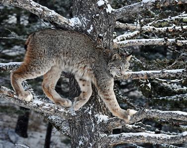 Canada Lynx 4, Bozeman, Montana