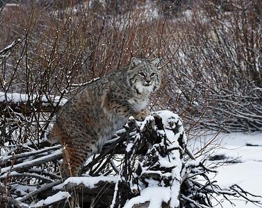 Bobcat 2, Bozeman, Montana