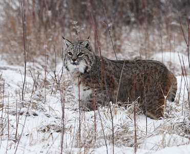 Bobcat 9, Bozeman, Montana