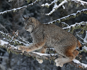 Canada Lynx 1, Bozeman, Montana
