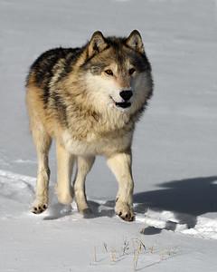 Gray Wolf 3, Bozeman, Montana