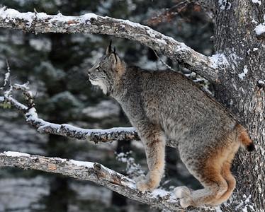 Canada Lynx 5, Bozeman, Montana