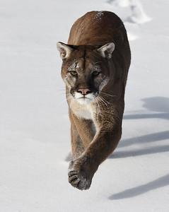 Cougar 10, Bozeman, Montana