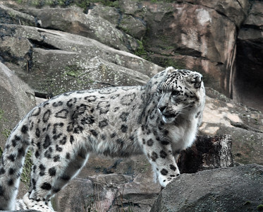 Snow Leopard 2, Anchorage Zoo, Ak