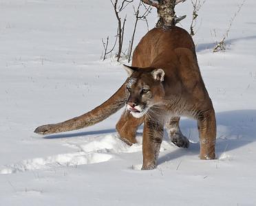 Cougar 1, Bozeman, Montana
