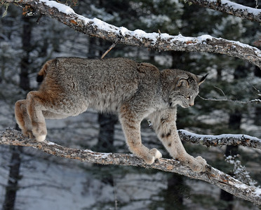 Canada Lynx 8, Bozeman, Montana