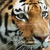 Tigers in Racine Wi? Yep. The zoo, it's cheaper than a safari.