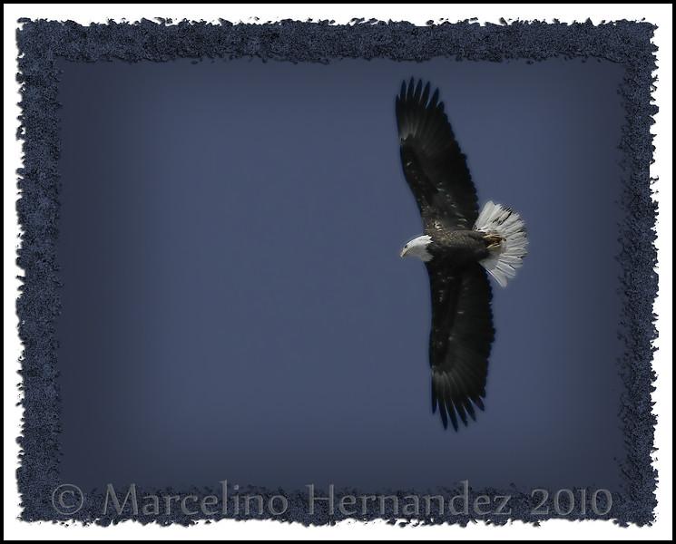 Migrating eagles at Starved Rock State Park