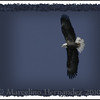 Migrating eagles at Starved Rock State Park