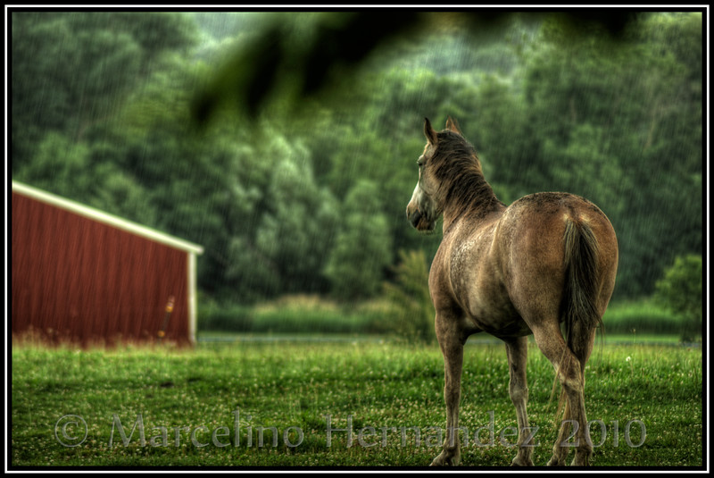 Horse in the rain.<br /> While camping there was a horse farm by the gate. It began to rain. Lemonade from lemons. HDR processing brought out the raindrops.