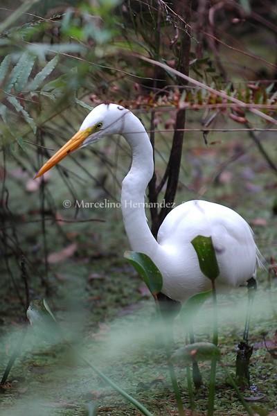 Florida waterfowl