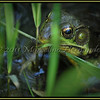 Seeing myself through the eye of a frog.<br /> (psst...look closer)
