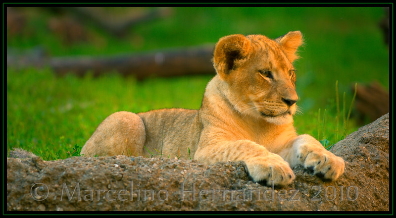 if you wonder why they are called king of the jungle, look at the paws...and these are just ones from a kitty!