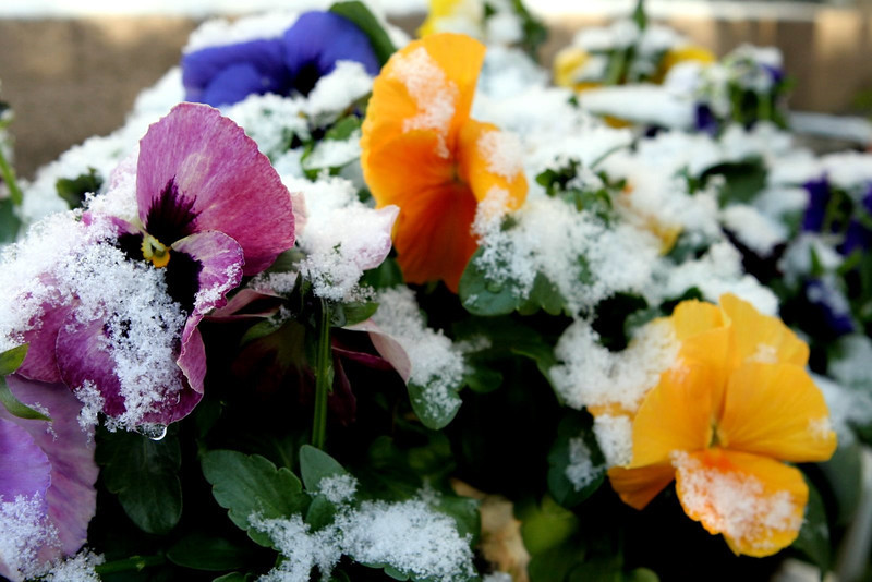 Pansies powdered with Snow, Hiroshima, Japan 2009