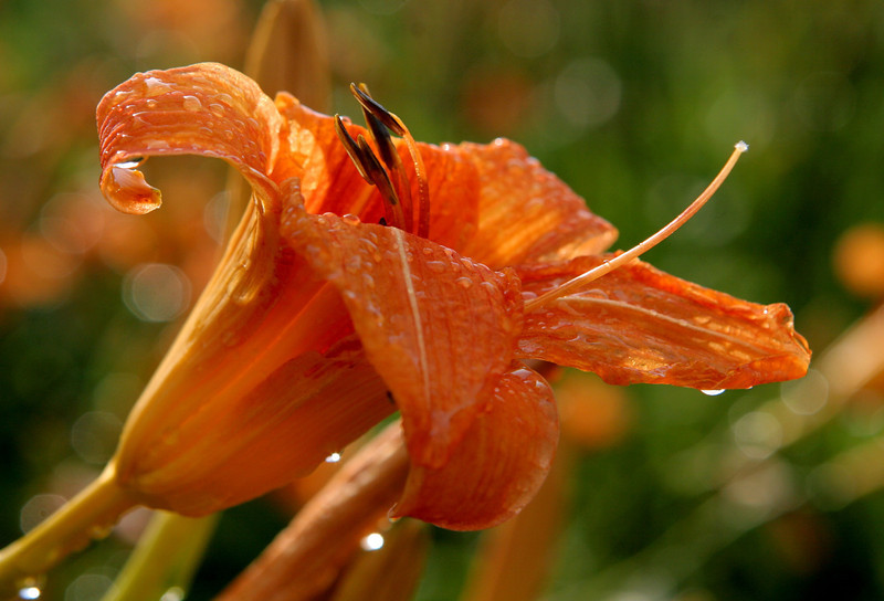 Raindrops on Tiger Lily, DeKalb County, IN USA 2010