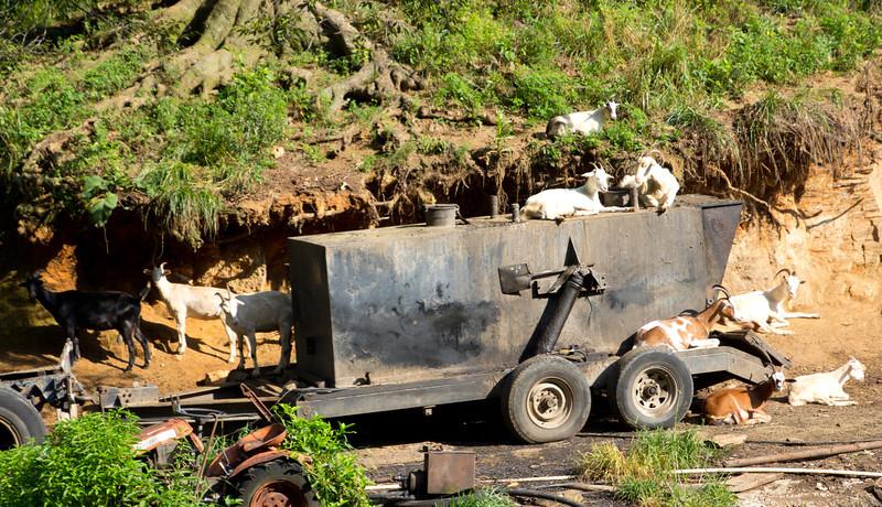 Got My Goats