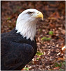 Oct 30<br /> Beautiful Bald eagle